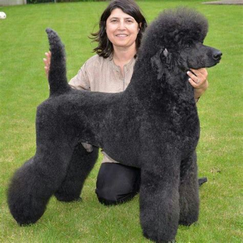 standard poodle grooming styles pictures 19 best standard poodle clips i like images on pinterest