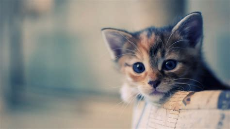 kitten wallpaper for pc kitten desktop wallpaper 1920x1080 wallpapersafari