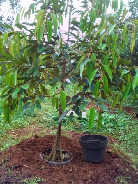 Jual Tanah Gembur by Terlaris Jual Bibit Durian 0812 8560 4125
