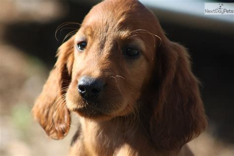 irish setter dog breeders for sale contact almaroad kennel for irish setter puppies female