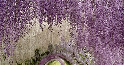 wisteria tunnels tokyo the wisteria flower tunnel at kawachi fuji garden japan