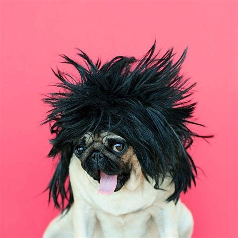 rock pug 17 best images about a pug s on pug costumes and pug