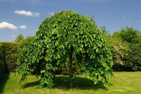 weeping trees weeping mulberry tree hello hello plants garden supplies