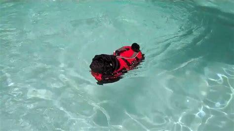 pug jacket swimming black pug swimming