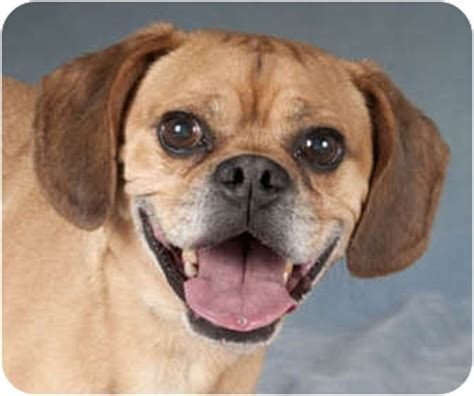 pug beagle mix dogs goose adopted chicago il pug beagle mix