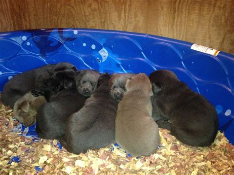 litter of puppies labrador puppies for sale silver labs for sale breeder of silver labrador