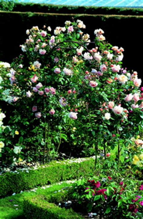 shropshire lad roses uk
