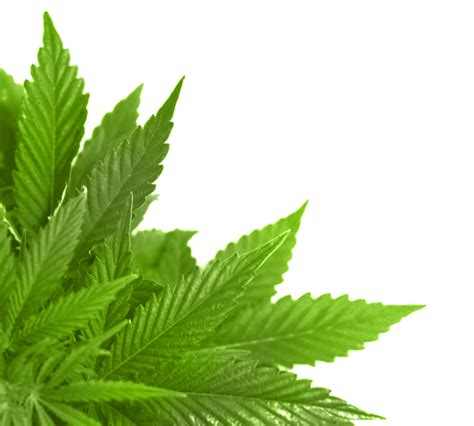 green leaves png image veerendra vijaya pinterest bem f 225 cil png folhas secas e verdes png