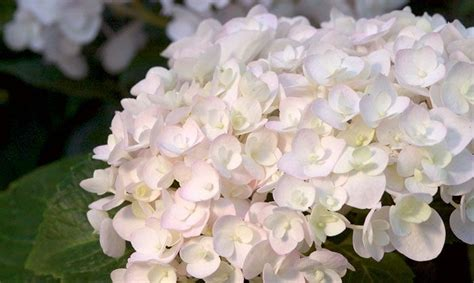 prune hydrangea bushes at the right time