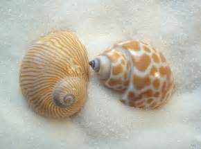 And Shell Seashell Names Two Shells Seashells By Millhill