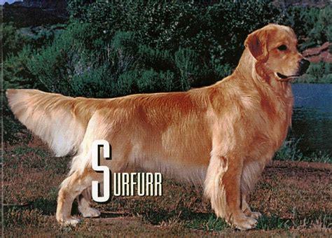 golden retriever forum cooper s pedigree questions golden retrievers golden retriever forums