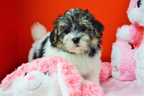 tri colored havanese puppies royal flush havanese puppies for sale tri colored 2 ready now