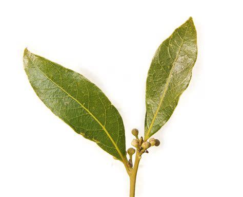 file bay leaf pair443 jpg wikipedia