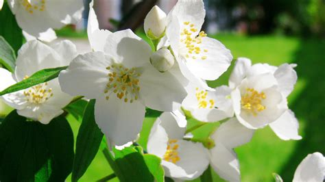 imagenes de flores jasmin de lo vivido y lo so 241 ado blancos jazmines