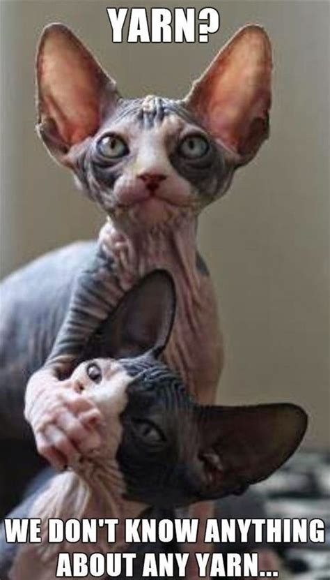 Sphynx Cat Meme - 30 funny animal captions part 31 30 pics amazing