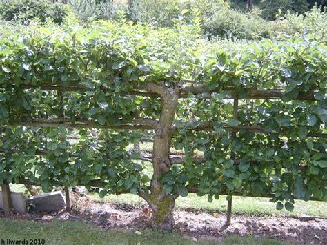 espalier fence out of fruit trees outdoor living pinterest