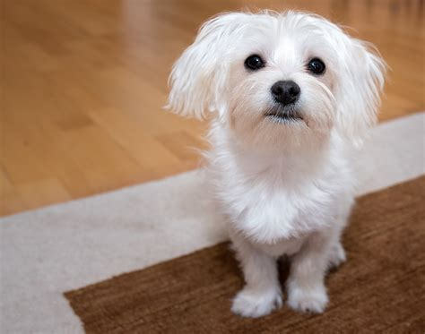 how much should a maltese shih tzu weigh things you must before choosing maltese breed