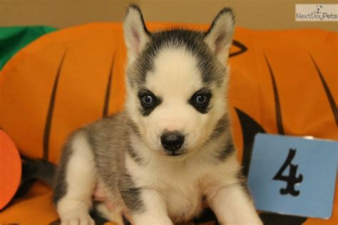puppies for sale in omaha ne siberian husky puppy for sale near omaha council bluffs nebraska 7cea0126 3df1