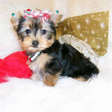 yorkie small yorkies for sale purchase small terrier amyjo