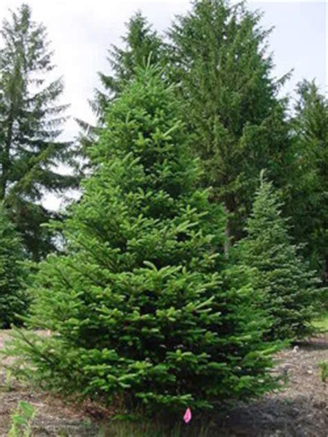 Pohon Natal Berkualitas Tipe Snow White Pine Tree Ukuran 9ft 2 7 Mtr jod蛯a fraserii drzewa iglaste jod蛯y sadowniczy pl drzewa owocowe nasiona iglaki z