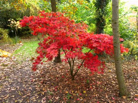 related keywords suggestions for japanese maple acer trees