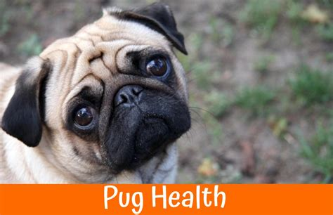 pug health problems 2017 best safe vet recommended chews us bones