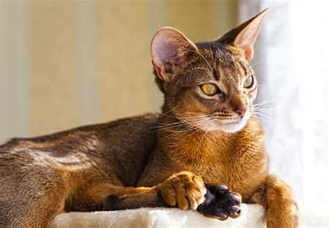 best chat 7 most intelligent cat breeds choosing the right cat for