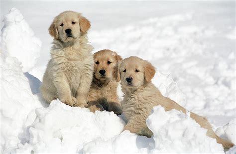 golden retriever puppy in snow golden retriever puppies in snow by stan fellerman