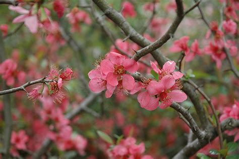 pink lady flowering quince chaenomeles  superba pink
