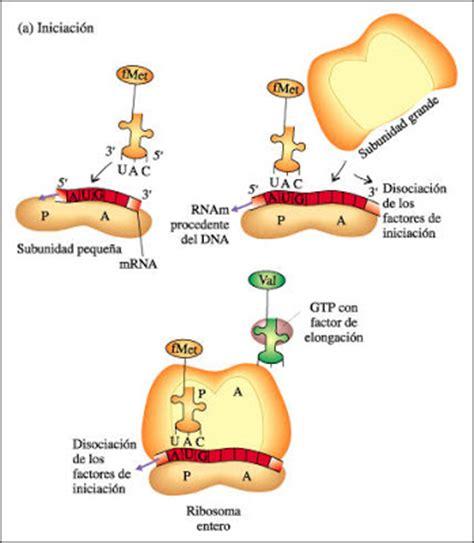 cuales son las cadenas musculares pdf biologia molecular vi sem etapas de sintesis de