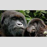 Mountain Gorilla Habitat | 1920 x 1080 jpeg 521kB