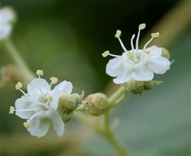 Flower Encyclopedia File Teak Tectona Grandis Flowers In Anantgiri Ap W2 Img 8807 Jpg Wikipedia