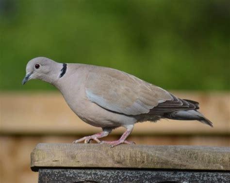 collared dove fact file british garden wild bird peckamix