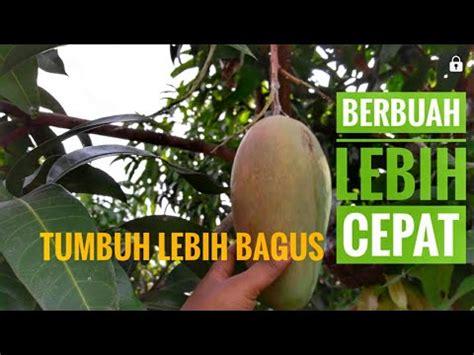 Bibit Durian Musang King Sambung Sisip penasaran sama besarnya mangga kiojay doovi
