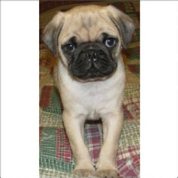 newborn pug puppies for sale best 25 pug puppies for sale ideas on pugs pug puppies and baby pugs for