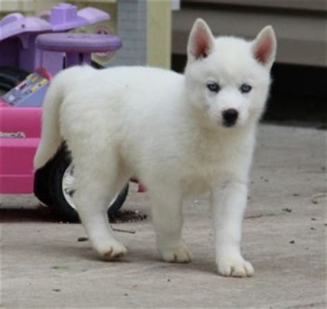 white siberian husky puppies for sale alaskan malamute ga asnclassifieds