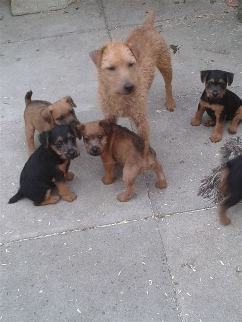 lakeland terrier puppies lakeland terrier puppies for sale bournemouth dorset pets4homes