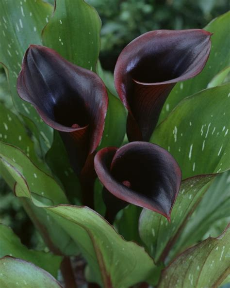top 10 black plants and flowers to add drama to your garden page 8 of 10 top inspired