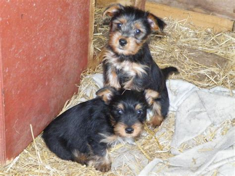 x yorkie puppies terrier x puppies for sale thetford norfolk pets4homes