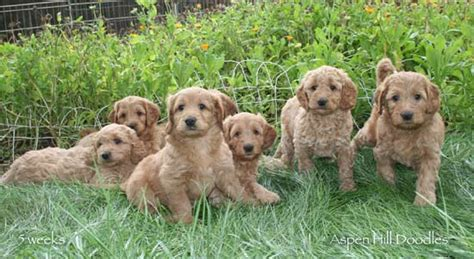 goldendoodle puppy potty pin goldendoodle colorado on