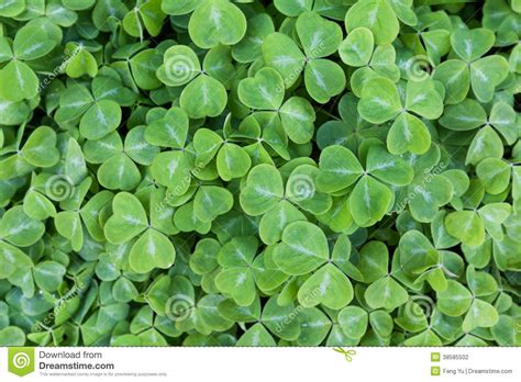 Clover Green green clover stock photography image 38585502