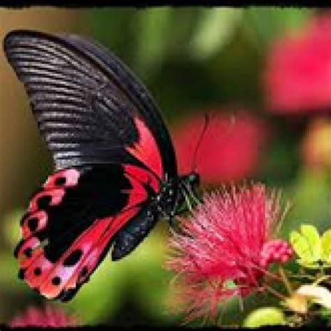 Kalung Dasi Kupu Untuk Anjing Dan Kucing ciri ciri kupu kupu dan jenis makananya nama nama hewan