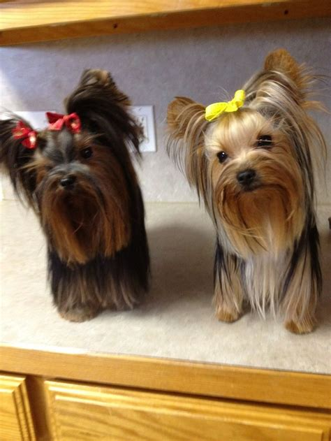black yorkies for sale pin by carrie on yorkies