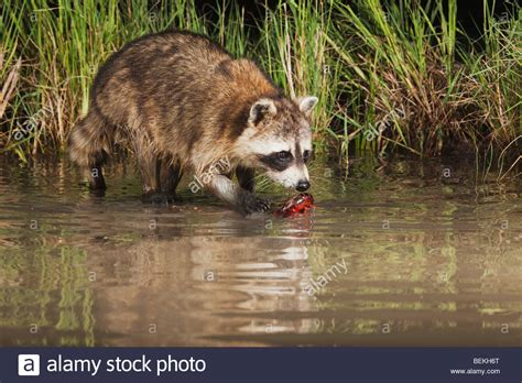 how to attract raccoons in your backyard how to attract raccoons in your backyard how to attract