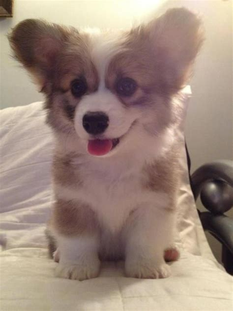 baby corgi puppies for sale corkie puppies for sale adorable fluffy puppy corgi puppies aww corgis dogs