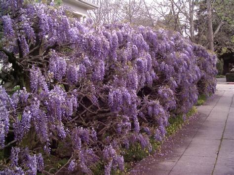 temperate climate permaculture permaculture plants wisteria