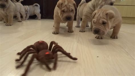 how much are shar pei puppies shar pei puppies vs robot spider barnorama