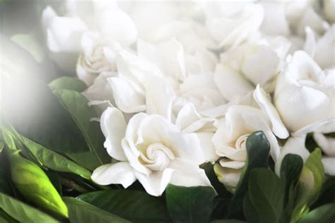 high c supply co gardenias luxury flower delivery