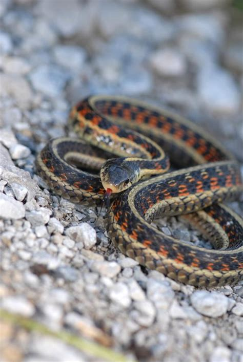 Garden Snake Names Incredibly Useful Tips To Identify A Garter Garden Snake