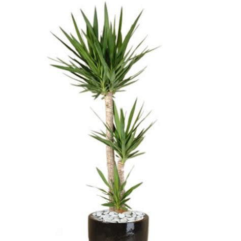 Tropical Yucca Plant by Plant Info Yucca Indoor Plant Hire Tropical Plant Rentals